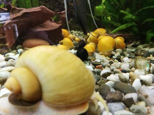 Ślimak ampularia