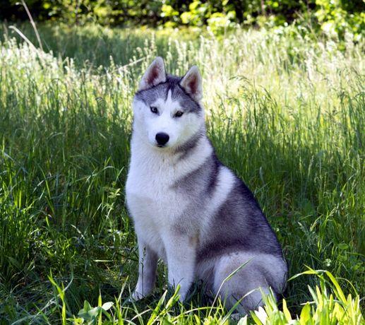 Великолепный щеночек сибирского хаски. Документы КСУ.