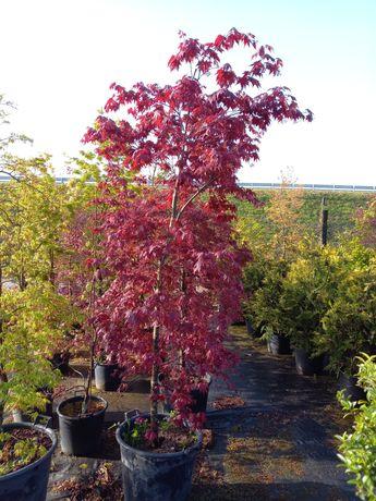 Acer  Palmatum vermelho