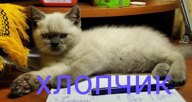 Продаж шотландських кошенят