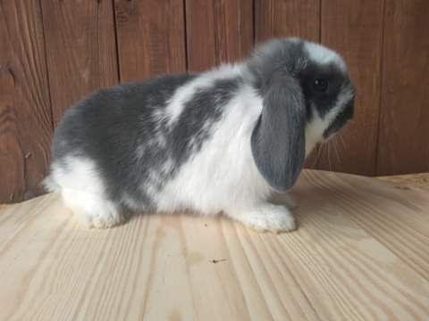 Królik króliczki baranki miniaturki lewki i gładkowłose