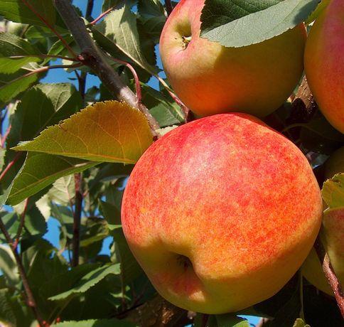 Яблука  різні сорти