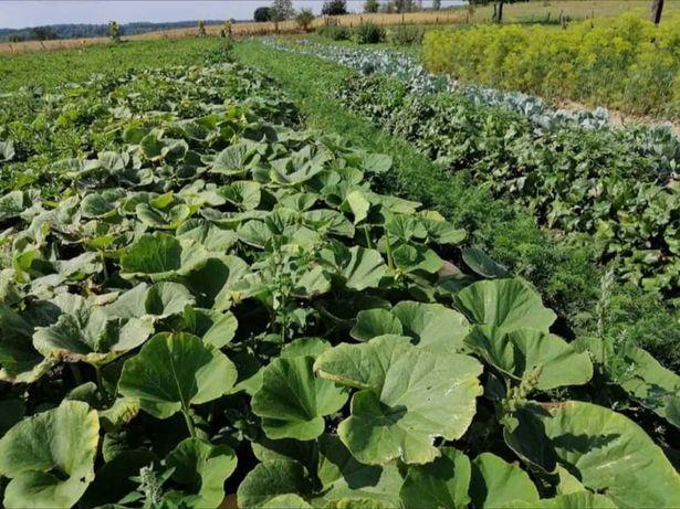 Warzywa z wiejskiej uprawy