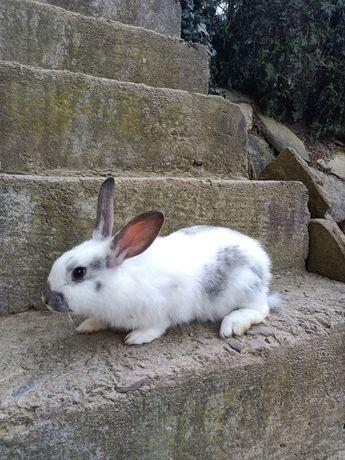 Sprzedam 2 króliki samiczki