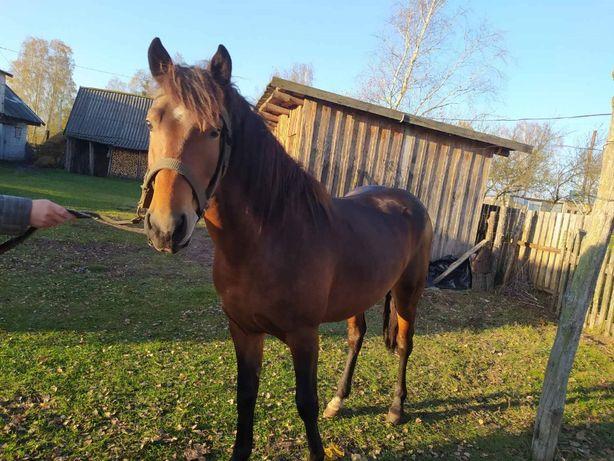 Продам молодого робочого коня