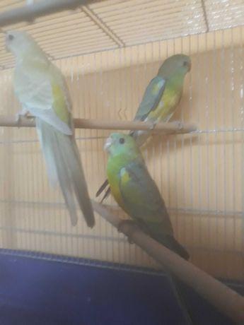 Sprzedam zieloną papugę