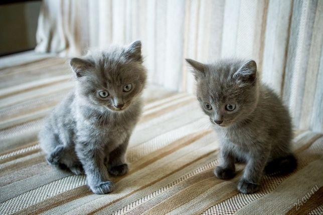 Два мальчика от веслоухой кошки