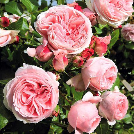Саженцы роз(Высший сорт)