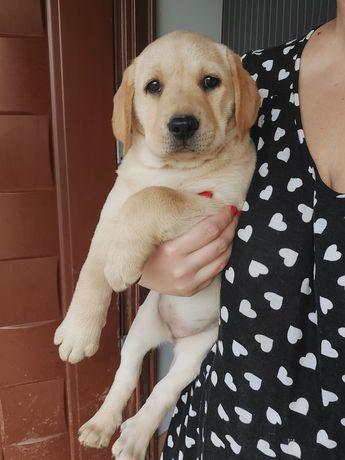 VIP щенок лабрадора! Девочка