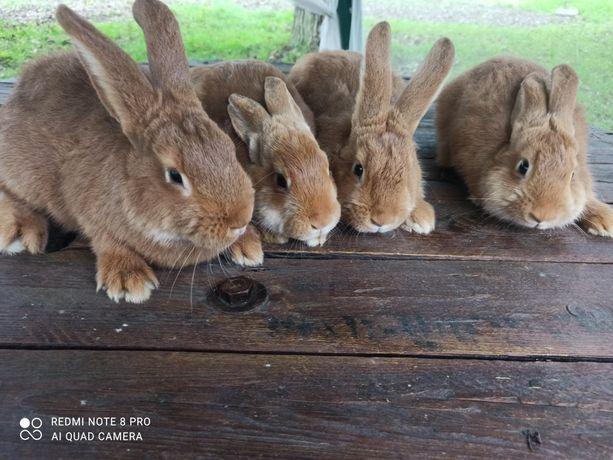 Кролики Новозеландський