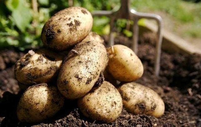 ziemniaki jadalne i sadzeniaki