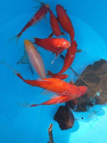 Peixes Kinguios (Goldfish)