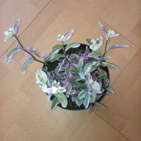 Trzykrotka fioletowa młody kwiatek