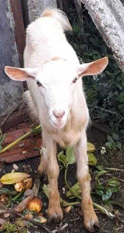 Vendo uma cabra e 1 cabrito