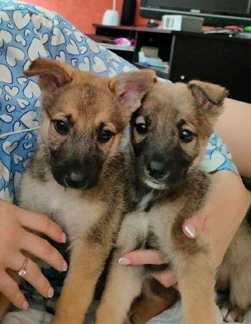 Отдам в добрые руки щенков (одного или двух) | бесплатно даром собака