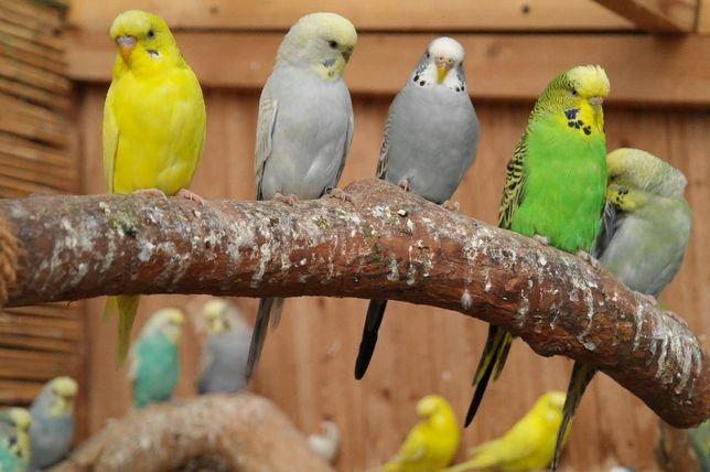 АКЦИЯ- Волнистые попугаи по 200 грн Большой Выбор