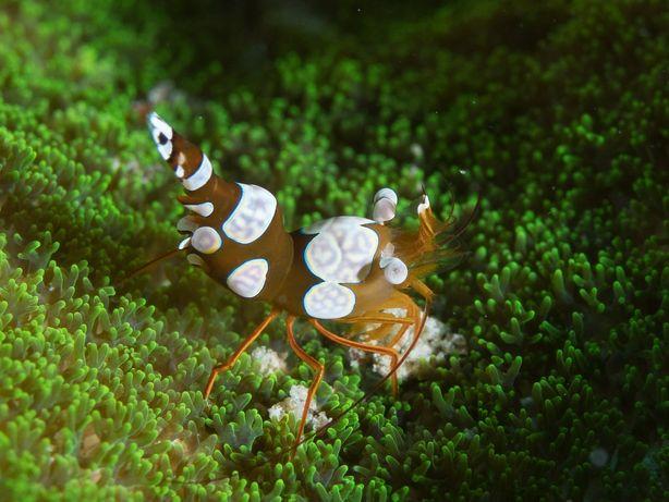 KREWETKA MORSKA Thor amboinensis Sexy shrimp Akwarium Morskie WYSYŁKA