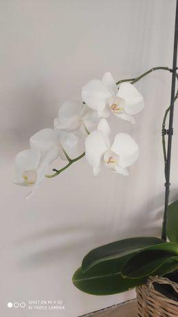 Storczyk biały duże kwiaty
