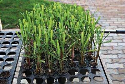 Cana de Açúcar Prontas a Plantar