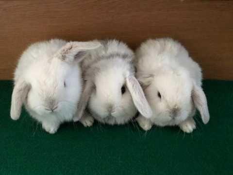 Вислоухие белые кролики карликовые