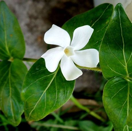 Винка Альба, барвинок белый