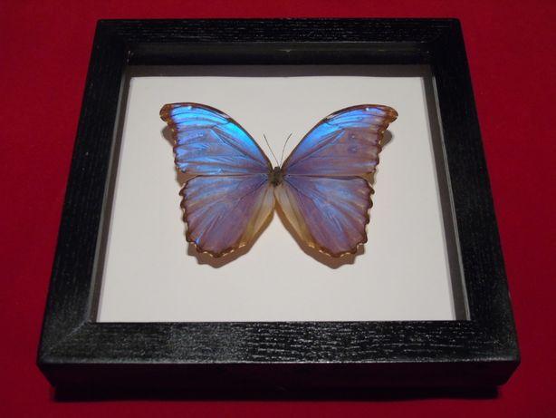 Motyl w ramce 24x24 cm.Morpho didius - Peru.150mm.