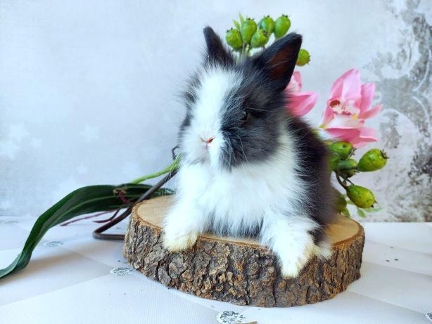 Karzełek lewek/Karzełek teddy królik do odbioru