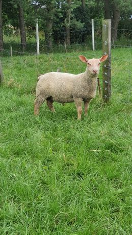 Charollais jagnięta, owce, baranki