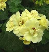 продам укорененный черенок желтой пеларгонии Pac First Yellow