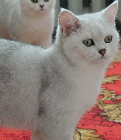 взрослые  кошки и кот в дар