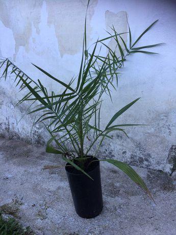 Palmeira para Jardim