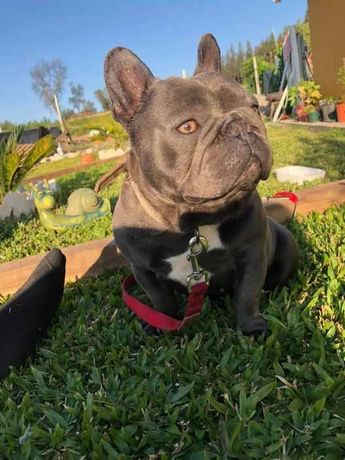 Bulldog Frances Blue para monta
