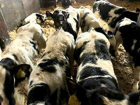 byczki na sprzedaż