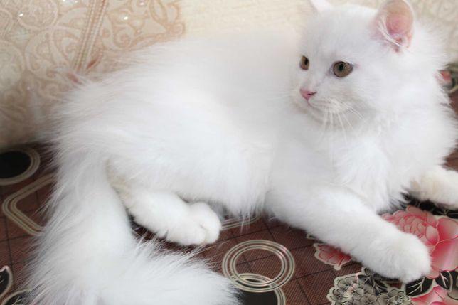 Белый котенок, белые котята Хайленд Страйт