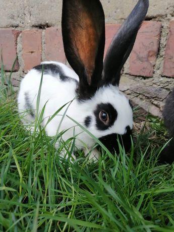 Na sprzedaż króliki rasy srokacz niemiecki. Samce i samice królika.