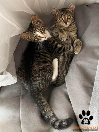 Kocie rodzeństwo Leo i Luna do adopcji