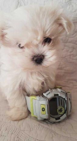 Mini Piesek Maltańczyk z Rodowodem
