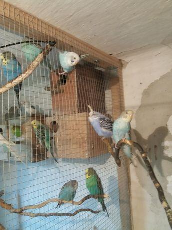 papugi faliste standard pary młode