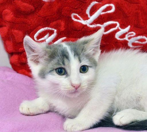Серый с белым котенок Санек (2 мес.) - милый и ласковый друг