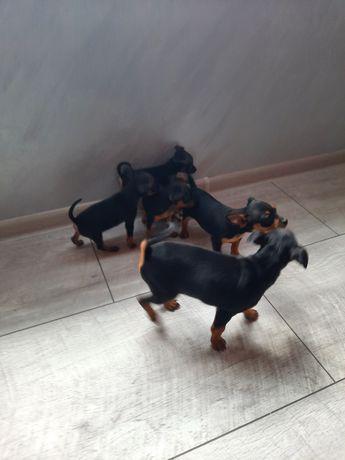 Pieski pinczerek miniaturkowy