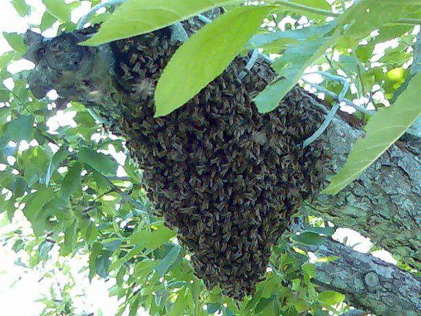 продам бджолинні рої