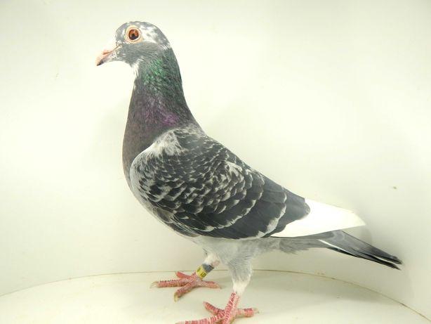 Gołębie Pocztowe  Lotowane