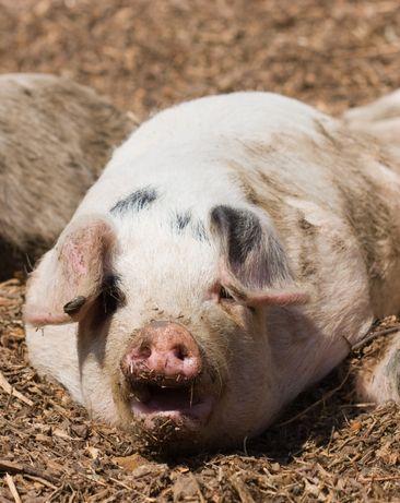 Свиньи живым весом!!