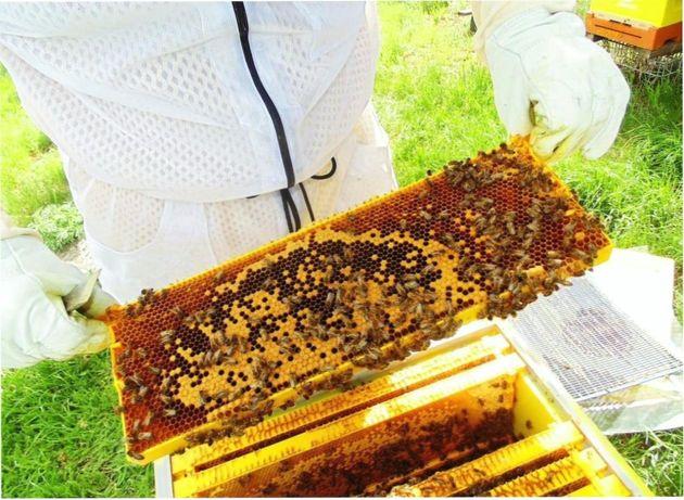 Бджолина матка. СARNICA Линия Victoria - F1 Навесні