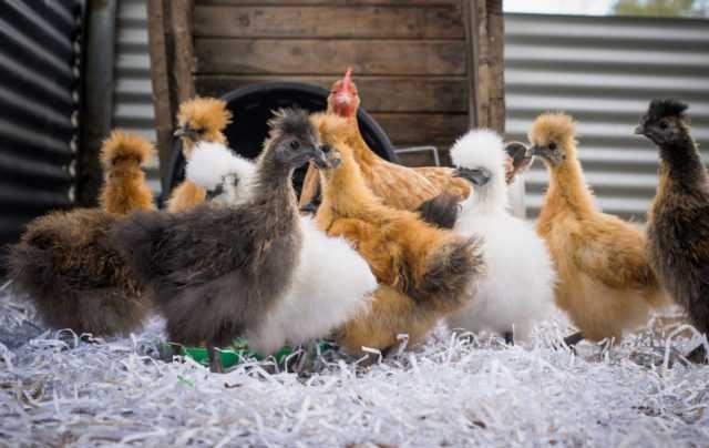 Silka pisklaki kury ozdobne  kurczaczki Silki jedwabista USA 6 tyg