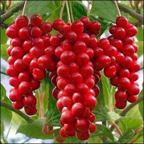 Лимонник китайский ягоды сушенные ( Schizandra chinensis )