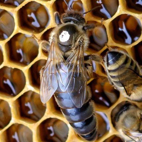 Matki pszczele car. Szron