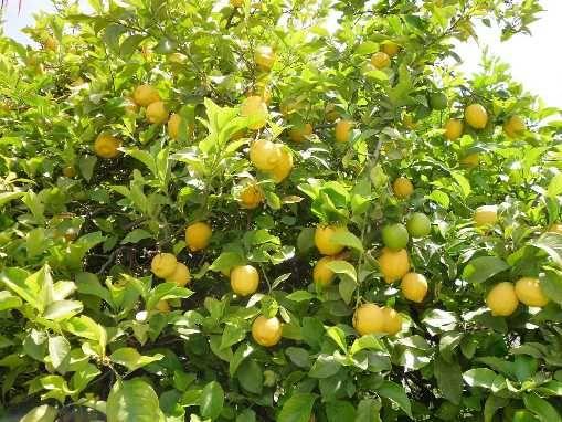 Limão – fruto Biológico