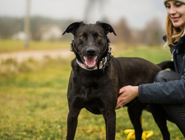 Borys mix labradora cudowny duży pies szuka domu adopcja Warszawa