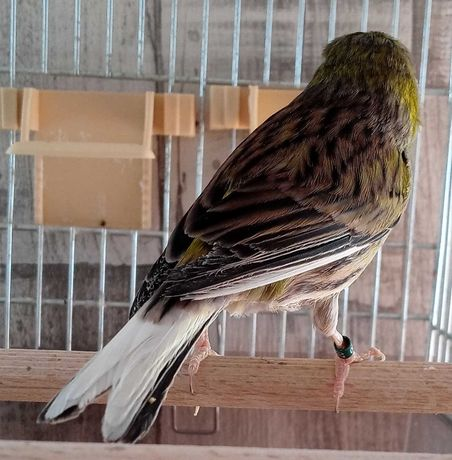gloster kanarek samiec na śpiewie